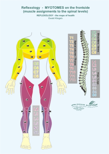Reflexology - the Myotomes on the frontside (muscle assignments to the spinal levels)